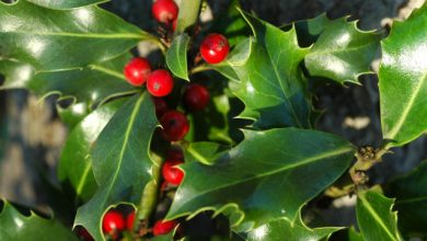 Why Is Holly a Symbol of Christmas?