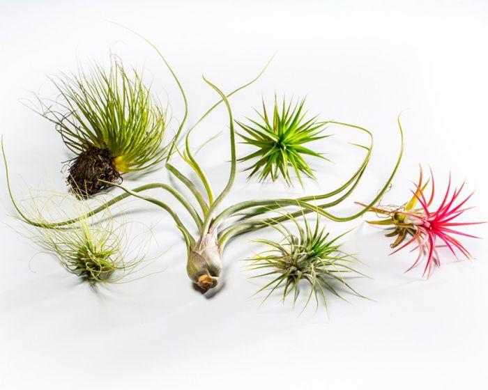 Αυτά τα φυτά δεν χρειάζονται χώμα – και αναπτύσσονται μόνο με τον αέρα!