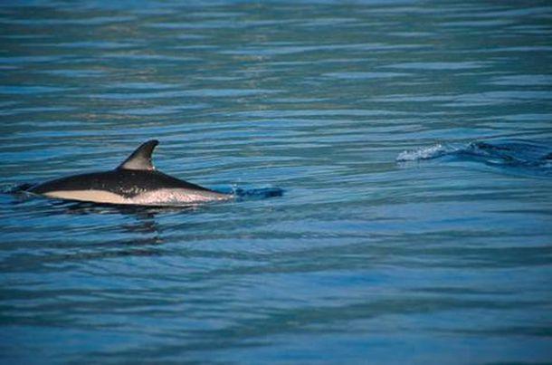 Γνωριμία με τα προστατευόμενα ρινοδέλφινα στον Αμβρακικό