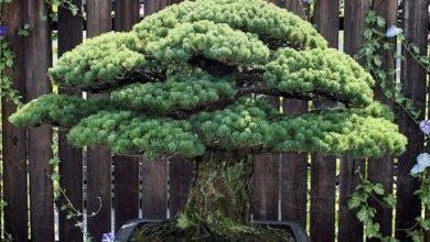 Μπονσάι 391 ετών που επιβίωσε από τη Χιροσίμα προκαλεί θαυμασμό