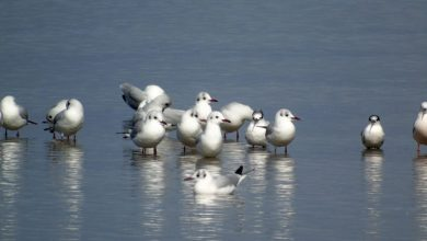 Με επιτυχία πραγματοποιήθηκε η εκδήλωση «Φτερωτοί ταξιδιώτες στη λιμνοθάλασσα μας»