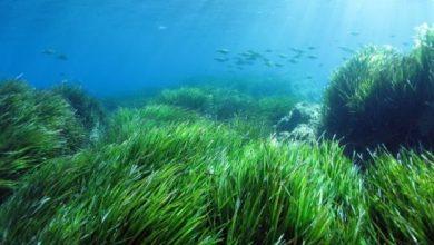 Τα λιβάδια της Ποσειδωνίας καθαρίζουν τις θάλασσες