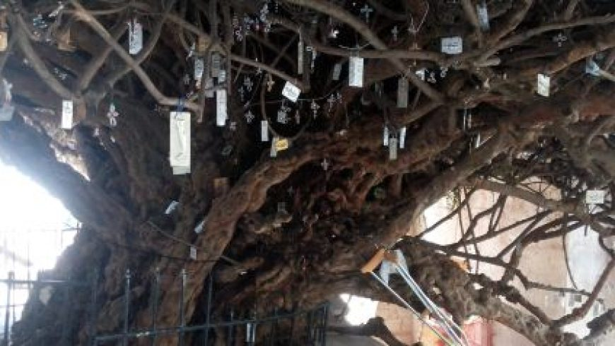 H Eλλάδα γιορτάζει την Παγκόσμια Ημέρα Δασών με την αρχαιότερη ελιά και το μεγαλύτερο πουρνάρι στον κόσμο