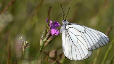 Πάνω από 172 είδη πεταλούδας πετούν αυτή την εποχή στις Πρέσπες