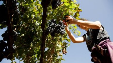 Με τον τρύγο έρχεται και η κατάργηση του φόρου στο κρασί