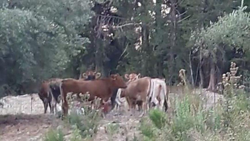 Ανακοίνωση της Συντονιστικής Επιτροπής για τα ανεπιτήρητα βοοειδή