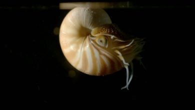 Η γέννηση του Ναυτίλου: Ένα απ' τα αρχαιότερα πλάσματα της Γης εκκολάπτεται για πρώτη φορά μπροστά στην κάμερα