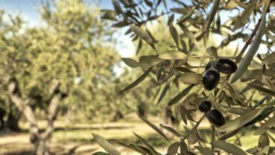 Κι όμως, η ελληνική ελιά θα κατακτήσει επιτέλους τη διεθνή αγορά