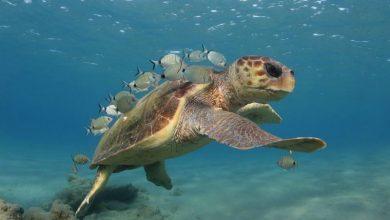 Οι εκπληκτικές μας θαλάσσιες χελώνες