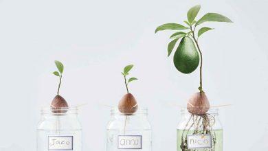 Πώς καλλιεργούμε μόνοι μας ένα δέντρο αβοκάντο;