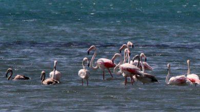 Μαγεία! Περισσότερα από 300 ροζ φλαμίνγκο έφτασαν στην Κέρκυρα