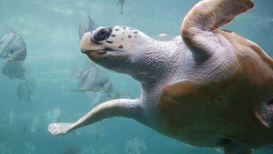 Απειλείται ο γηραιότερος κάτοικος των ελληνικών θαλασσών, η καρέτα – καρέτα