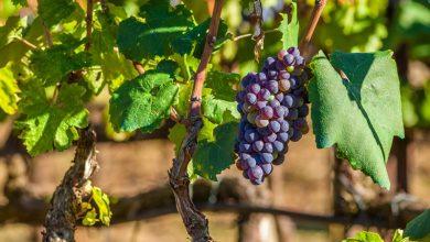 Γιορτή κρασιού & τρύγου στην Απόλπαινα