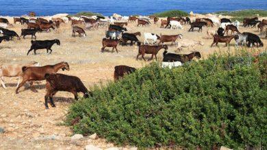 Οι κατσίκες της Πορτογαλίας επιστρατεύτηκαν για την πρόληψη των δασικών πυρκαγιών