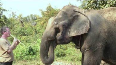 O μουσικός που παίζει μουσική στους ελέφαντες