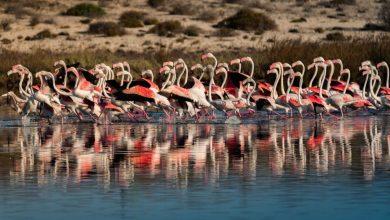 The season of flamingos