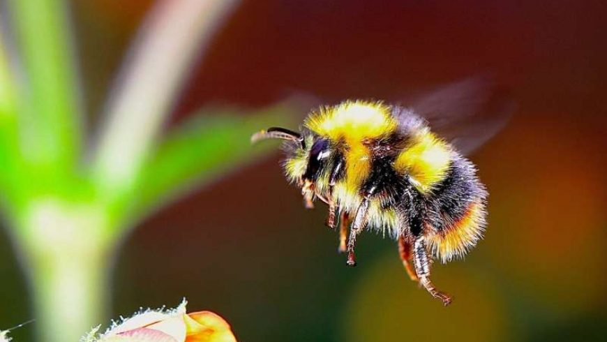 Βομβίνοι: Oι άγριες μέλισσες στο χείλος μαζικής εξαφάνισης εν μέσω «κλιματικού χάους»