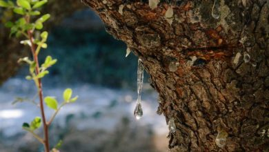 Θα υιοθετήσεις ένα μαστιχόδεντρο;