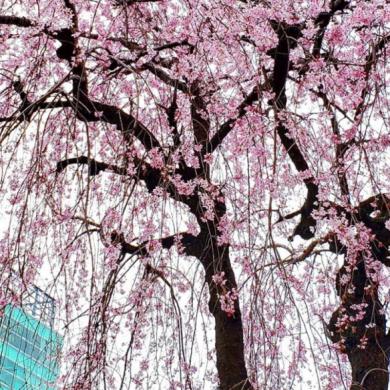 Homenami: Η online απόλαυση των ανθισμένων κερασιών στην Ιαπωνία