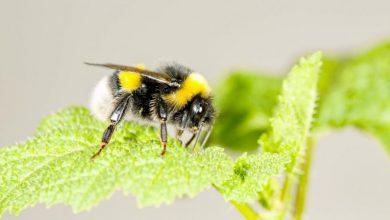 Ελληνίδα ερευνήτρια ανακάλυψε τυχαία ότι μέλισσες τρυπούν φυτά για να ανθίζουν πιο γρήγορα