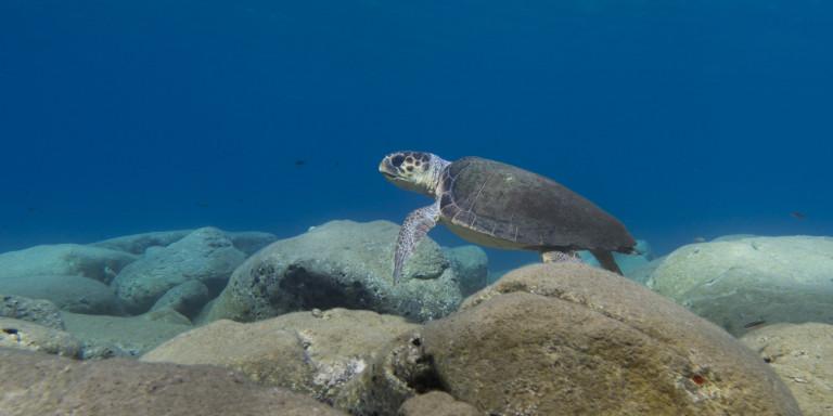 Θαλάσσιες χελώνες, τα «θύματα» της ρίψης πλαστικών στη Μεσόγειο