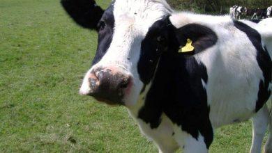 Ελέγχθηκαν και εμβολιάστηκαν από την Π.Ε. Λευκάδας τα ανεπιτήρητα βοοειδή που περισυλλέχθηκαν από τον Δήμο