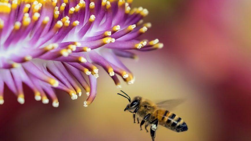 Ολλανδία: Επιστήμονες εκπαιδεύουν μέλισσες να ανιχνεύουν τον κορωνοϊό
